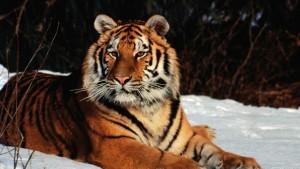 Winter-Tiger-Wild-Cat-Images